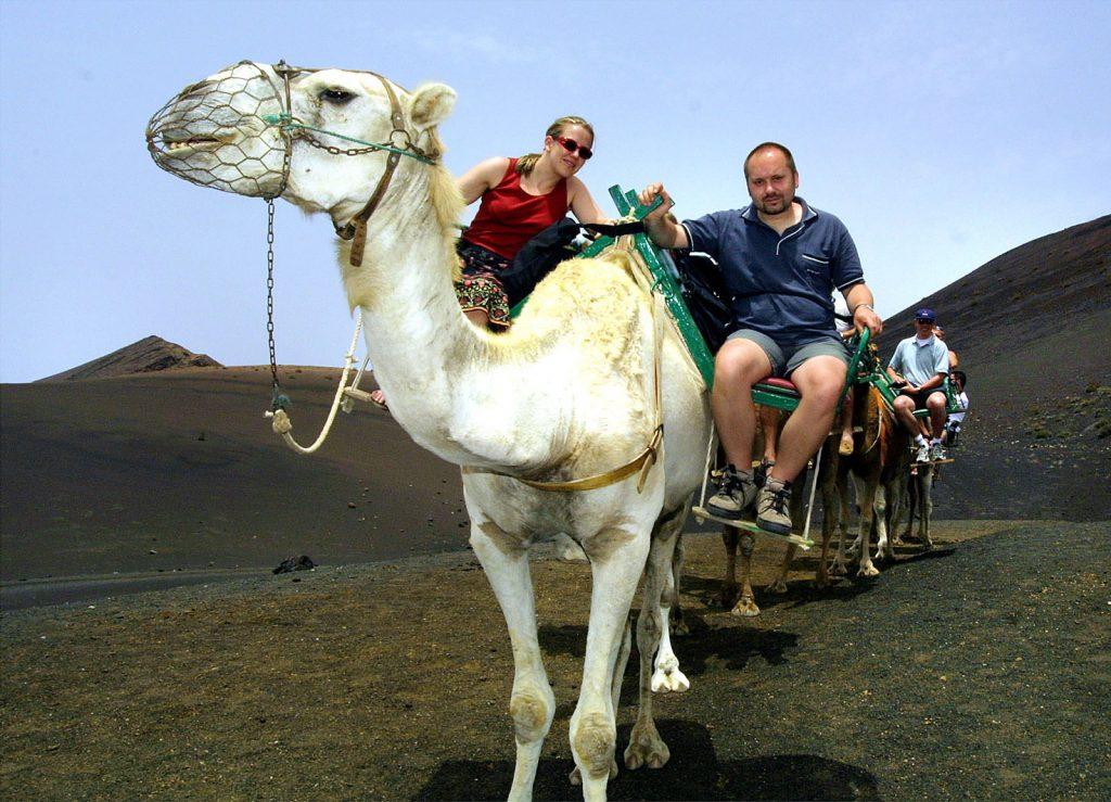 Lanzarote Ausflug Süden: Dromedare in Timanfaya